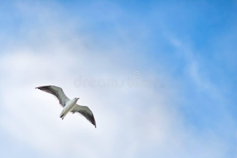 Gaviota que se eleva arriba en el cielo foto de archivo libre de regalías