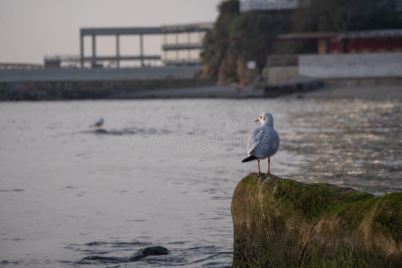 Gaviota que se sienta en una roca en el agua cerca de la orilla, el Mar Negro, Odesa imagen de archivo