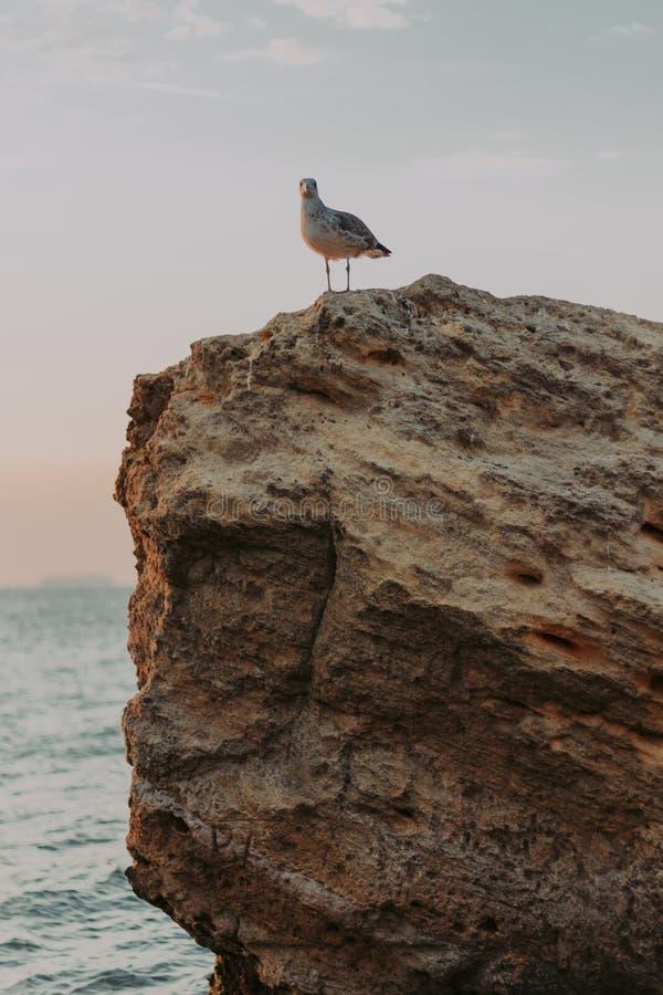 Gaviota que se sienta en una roca grande en la playa en el amanecer foto de archivo