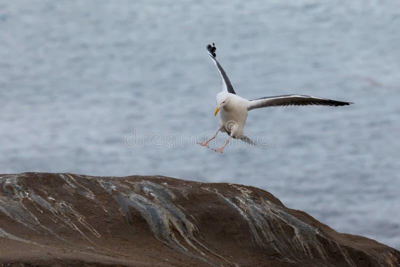 Gaviota que viene adentro para un aterrizaje en las rocas, playa de La Jolla, San Diego, California foto de archivo