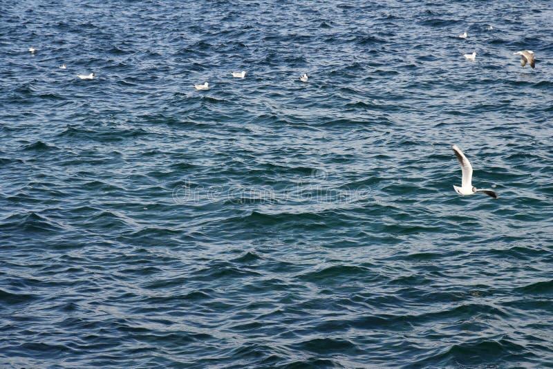Gaviota que vuela hermosa sobre superficie azul de la agua de mar de la ondulación fotografía de archivo libre de regalías