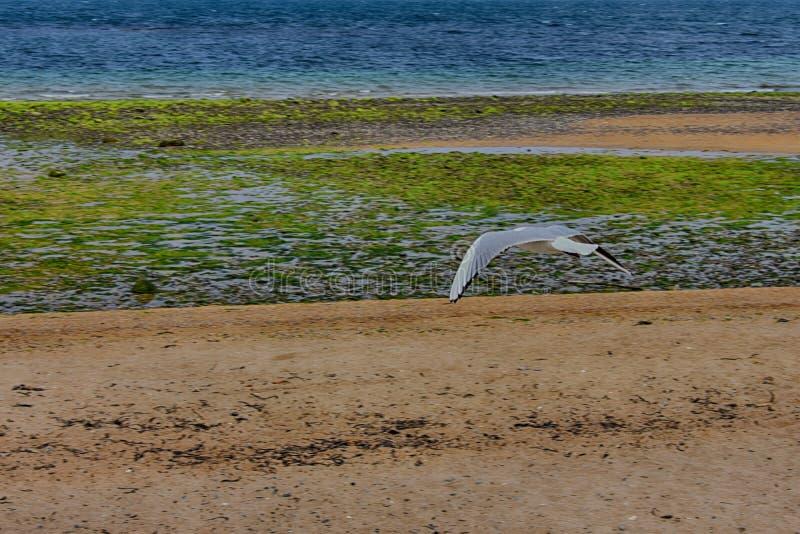 gaviota que vuela sobre el mar en Irlanda del Norte foto de archivo