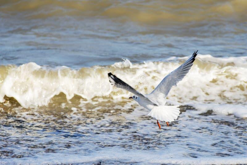 Gaviota que vuela sobre fondo del agua azul Vuelo de la gaviota sobre el mar imagenes de archivo