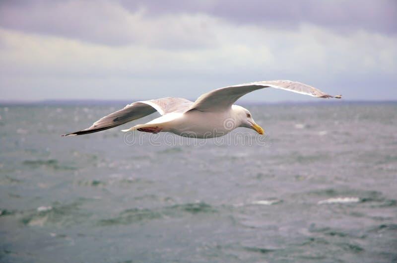 Gaviota sobre el mar fotografía de archivo