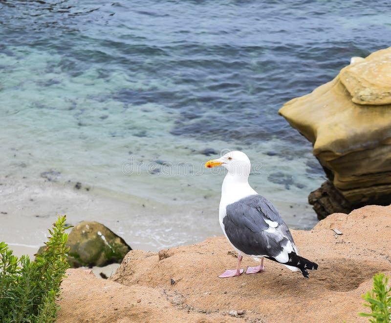Gaviota solitaria en la playa del ` s de los niños en la ensenada de La Jolla en San Diego, California imagenes de archivo