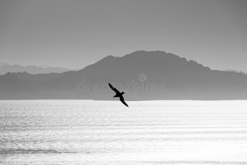 Gaviota swooping sobre el estrecho de Gibraltar fotos de archivo libres de regalías