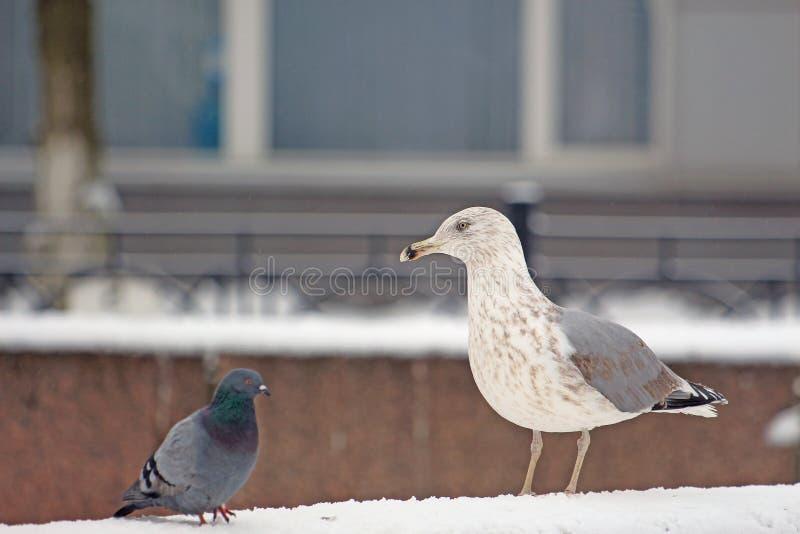 Gaviota y paloma en la nieve durante ventiscas foto de archivo