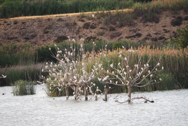 Gaviotas blancas encaramadas en tres árboles, ivars y vila sana, Lérida imagen de archivo