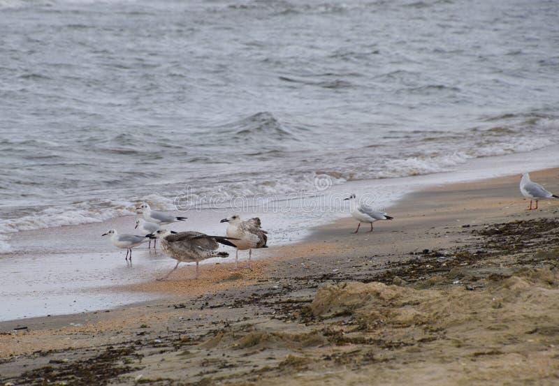 Gaviotas comunes en la playa Gaviotas que buscan la comida fotografía de archivo libre de regalías