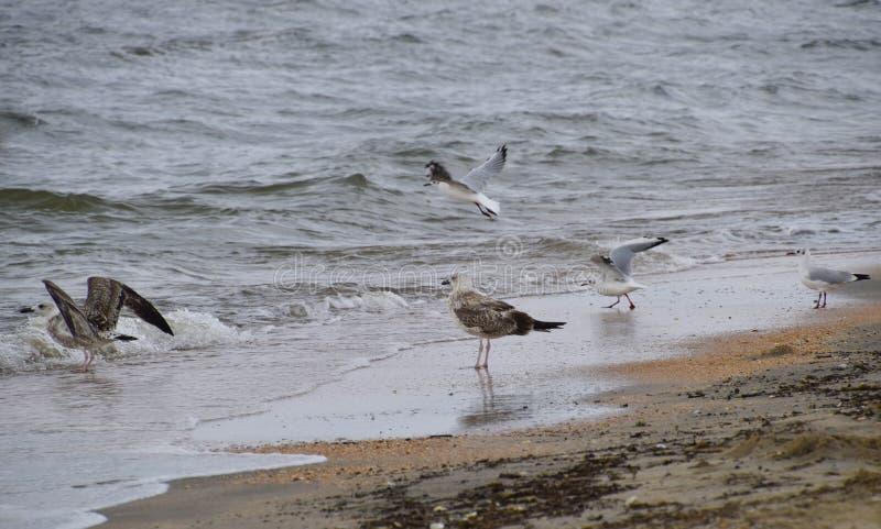 Gaviotas comunes en la playa Gaviotas que buscan la comida imagen de archivo