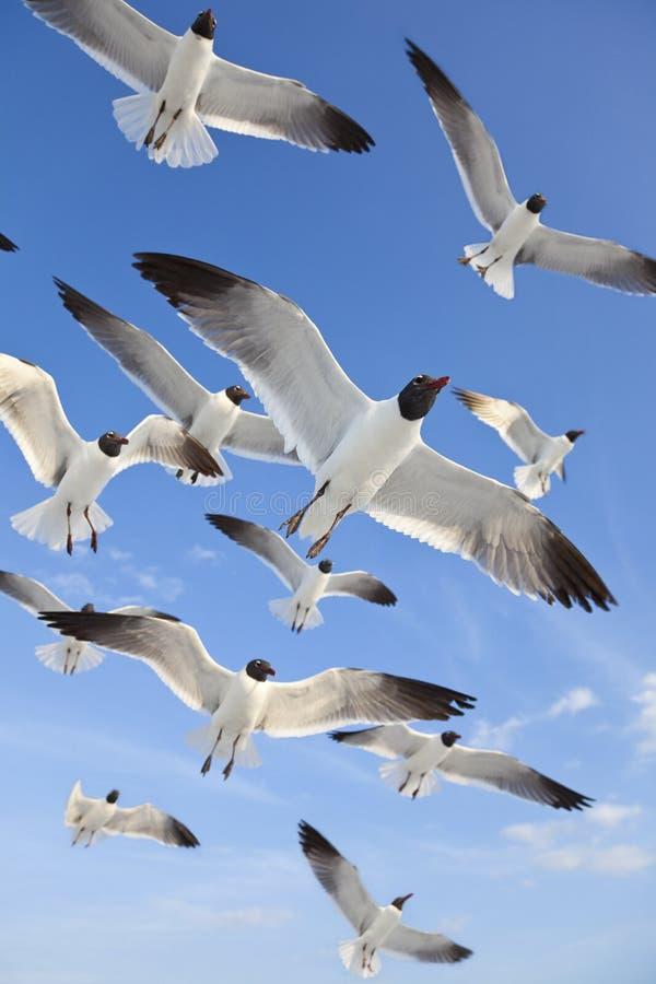 Gaviotas de mar de cabeza negra comunes que vuelan en cielo azul foto de archivo libre de regalías