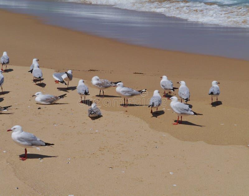 Gaviotas de plata en la costa del océano imagen de archivo libre de regalías