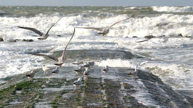 Gaviotas del vuelo y mar salvaje fotografía de archivo libre de regalías