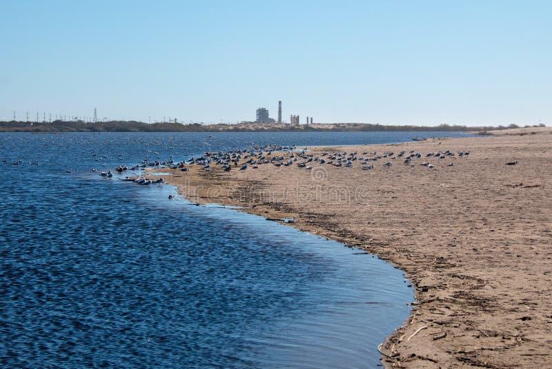 Gaviotas en el istmo estrecho de la arena en donde el coto del pájaro del río Santa Clara resuelve la playa en la playa de la lom foto de archivo