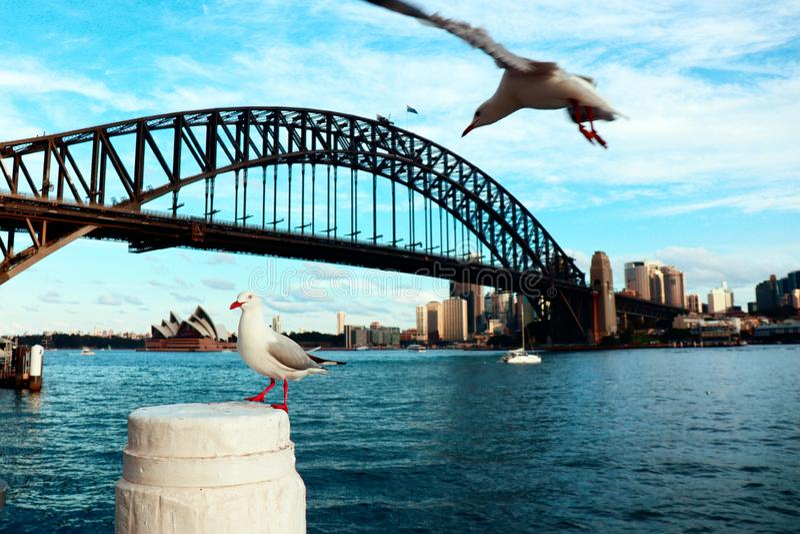 Gaviotas en el puerto de Sydney fotos de archivo