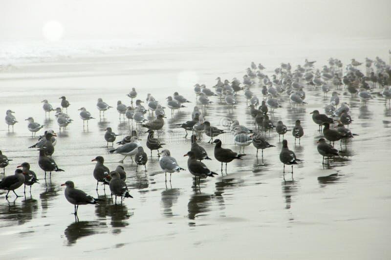 Gaviotas en la playa brumosa imágenes de archivo libres de regalías