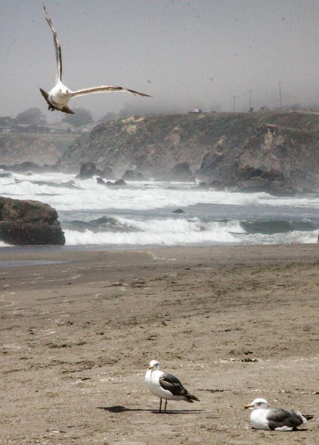 Gaviotas en la playa de California foto de archivo libre de regalías