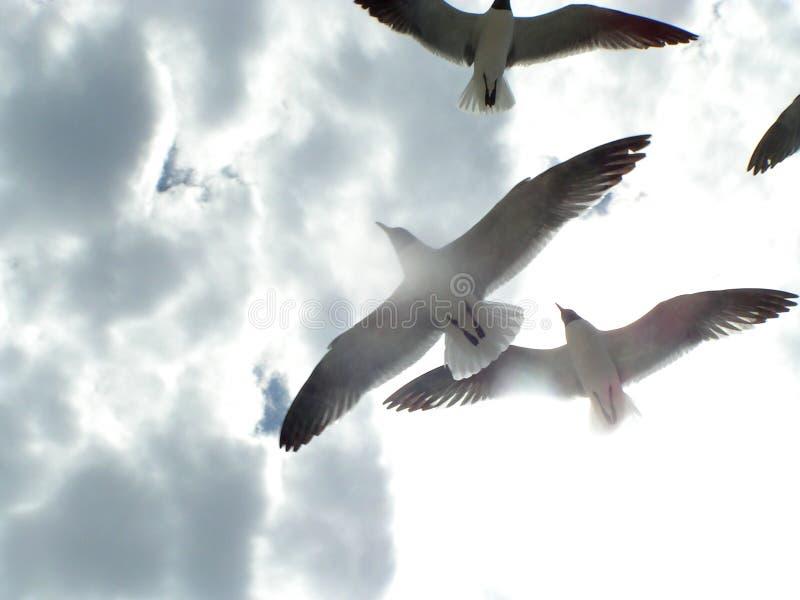 Gaviotas en vuelo 1 imagenes de archivo