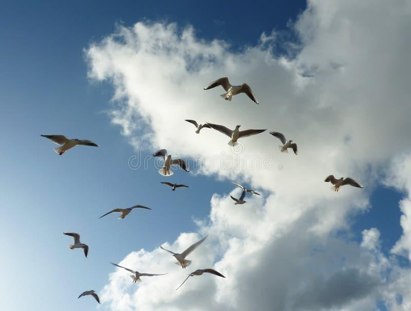 Gaviotas en vuelo imagen de archivo
