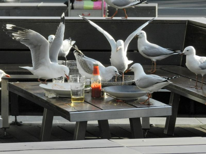 Gaviotas que invaden una tabla vacía en un restaurante y que comen las sobras fotos de archivo libres de regalías