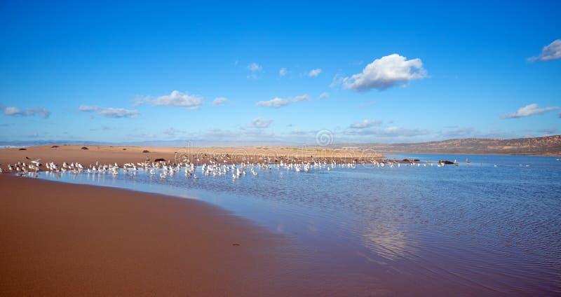 Gaviotas que vuelan en la península entre el río del Pacífico y de Santa Maria en Rancho Guadalupe Sand Dunes en la costa central imagen de archivo