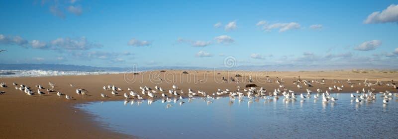 Gaviotas que vuelan en la península entre el río del Pacífico y de Santa Maria en Rancho Guadalupe Sand Dunes en la costa central fotos de archivo