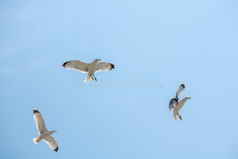 Download Gaviotas Que Vuelan En Un Cielo Foto de archivo - Imagen de vuelo, pájaro: 100534790