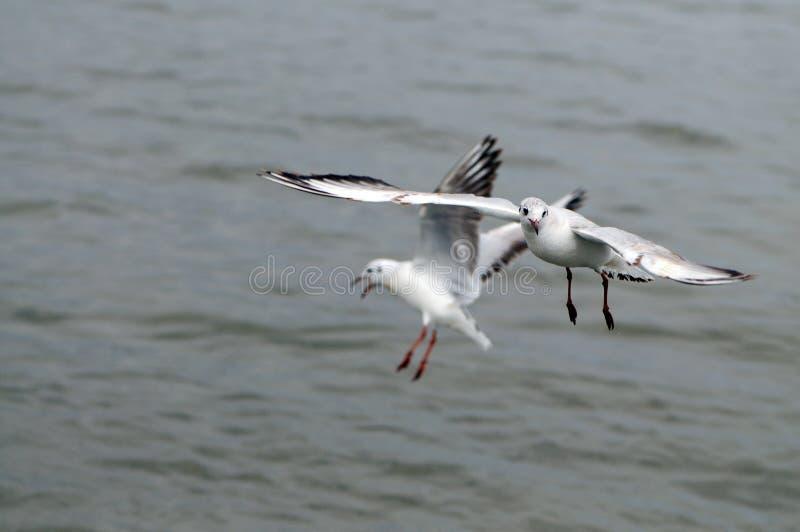 Gaviotas que vuelan, silueta de la vista lateral Gaviota que caza abajo de pescados foto de archivo libre de regalías