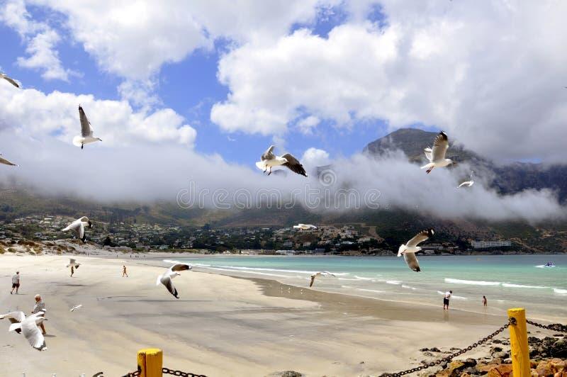 Gaviotas Swooping sobre la bahía de Hout foto de archivo