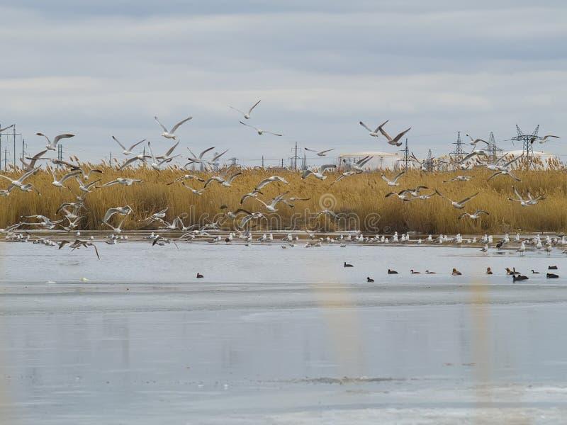 Gaviotas y patos en un lago congelado foto de archivo