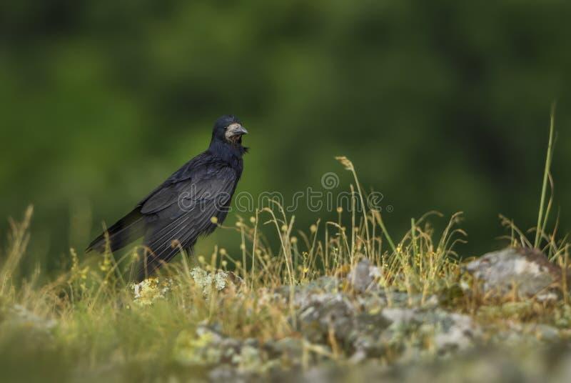 Gawron - Corvus frugilegus zdjęcie stock