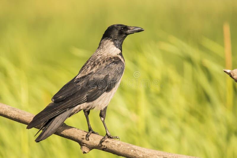 Gawron, Corvus frugilegus fotografia stock