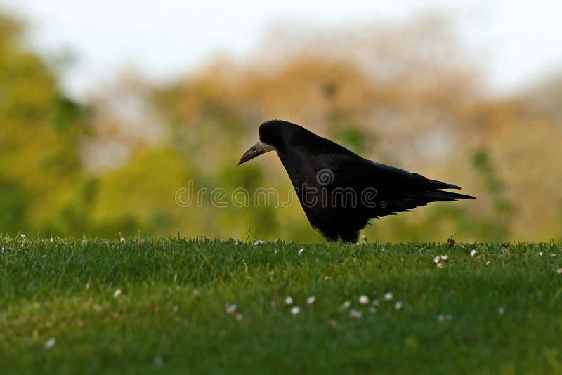 Gawron, Corvus frugilegus obrazy royalty free