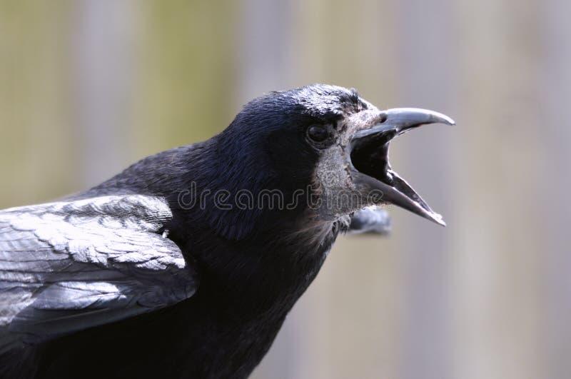 Gawronu, kruka Corvus Ptasi frugilegus/ fotografia stock