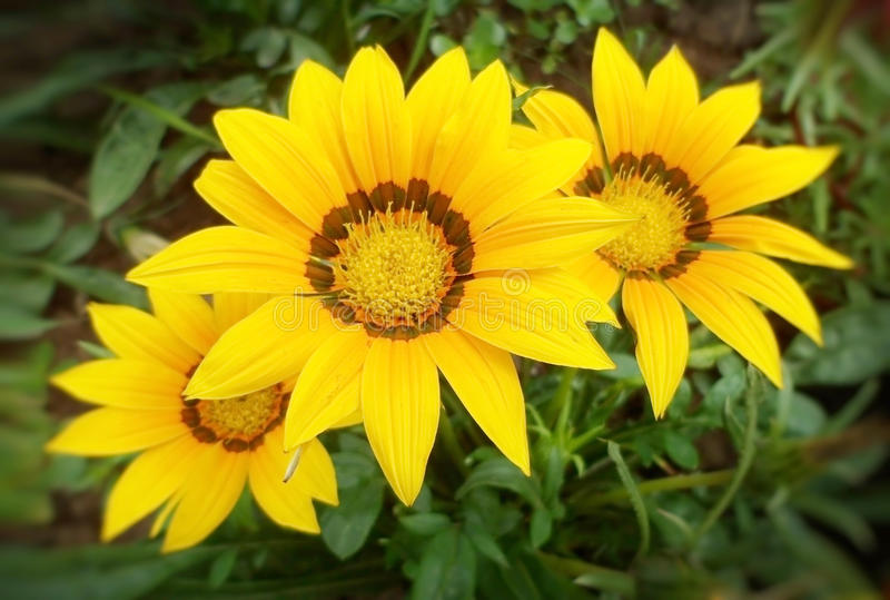 Gazania żółci kwiaty zdjęcia royalty free