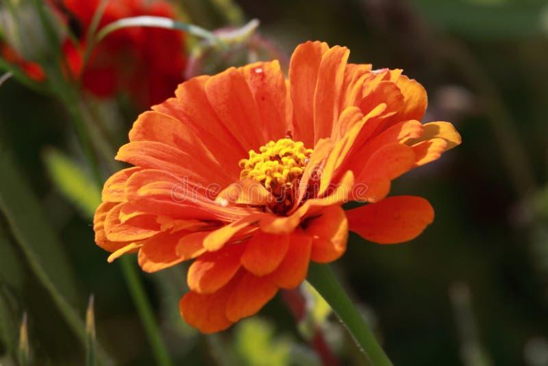 Gazania. Close up of orange- red Gazania flower in the field royalty free stock image