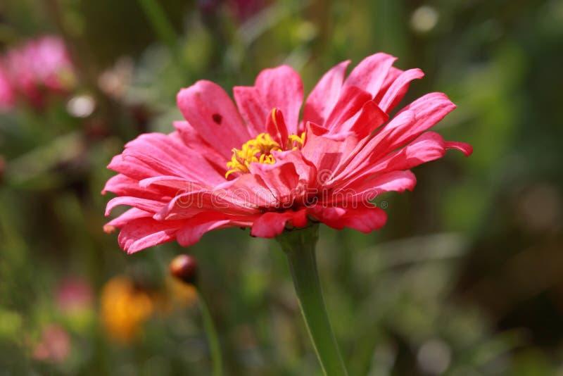 Gazania. Close up of magenta- red Gazania flower in the field stock image