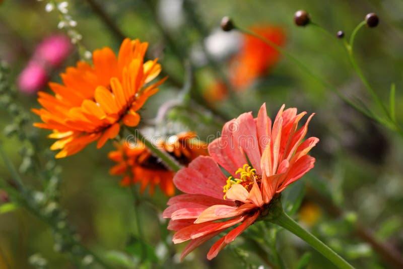 Gazania. Close up of orange- red Gazania flowers in the field stock photography