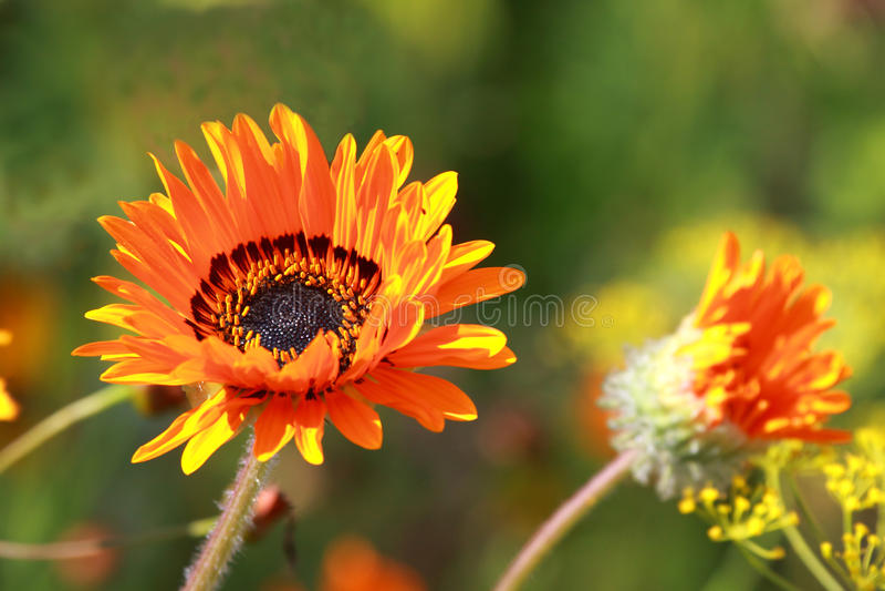 Gazania. Close up of orange- red Gazania flowers in the field royalty free stock photos