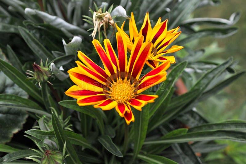 Download Gazania. stock photo. Image of blossom, flowerhead, flowers - 28948954