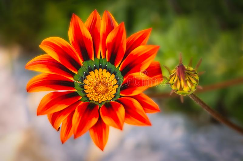 Gazania, Africa Daisy with red orange  petals and a green and yellow centre. The background is soft focus. stock image