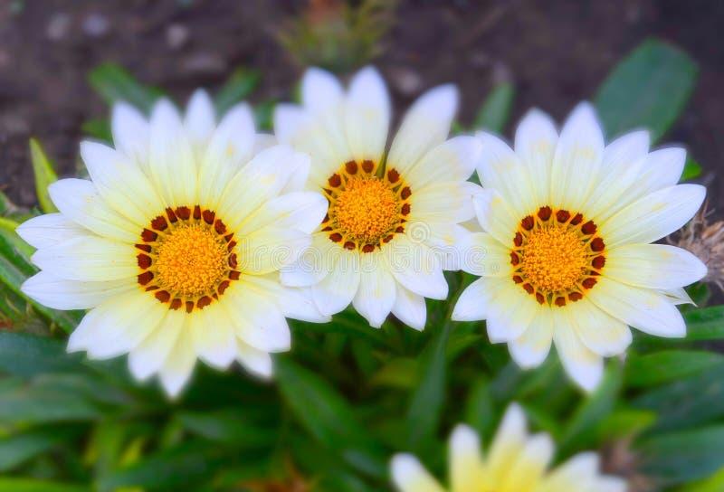 Gazania Aster. Meadow flowers in miniature effect, Gazania Aster royalty free stock photos