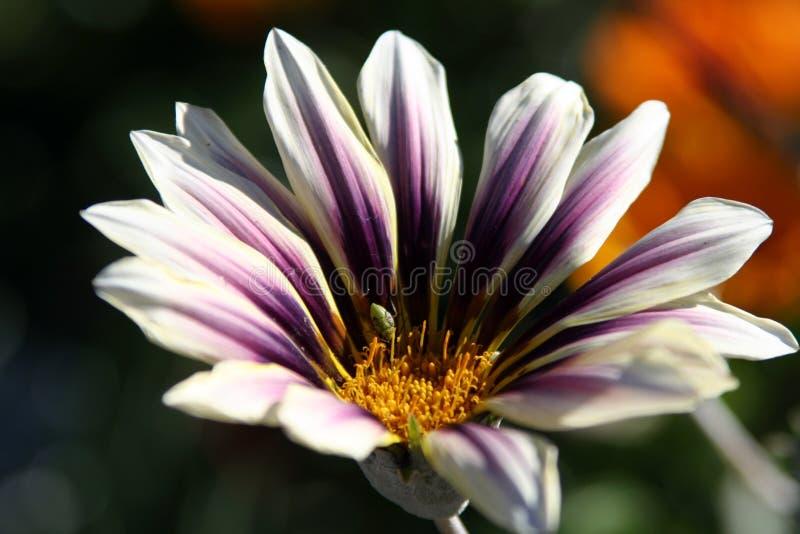 Gazania avec l'insecte photographie stock