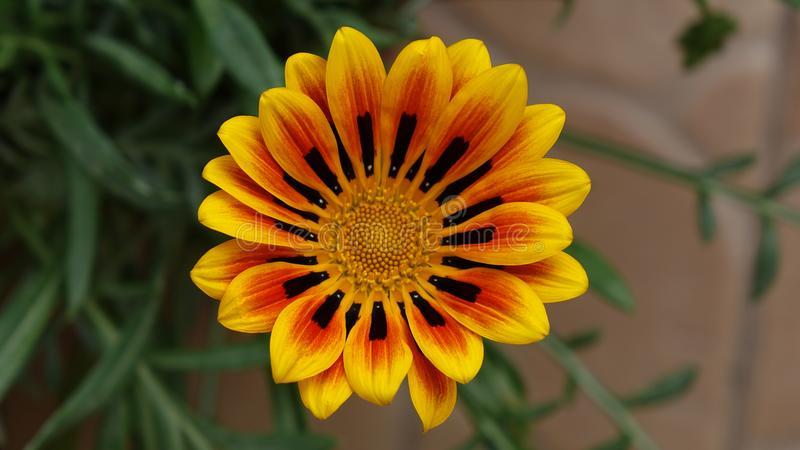 Gazania awesome flower colorful closeup stock images