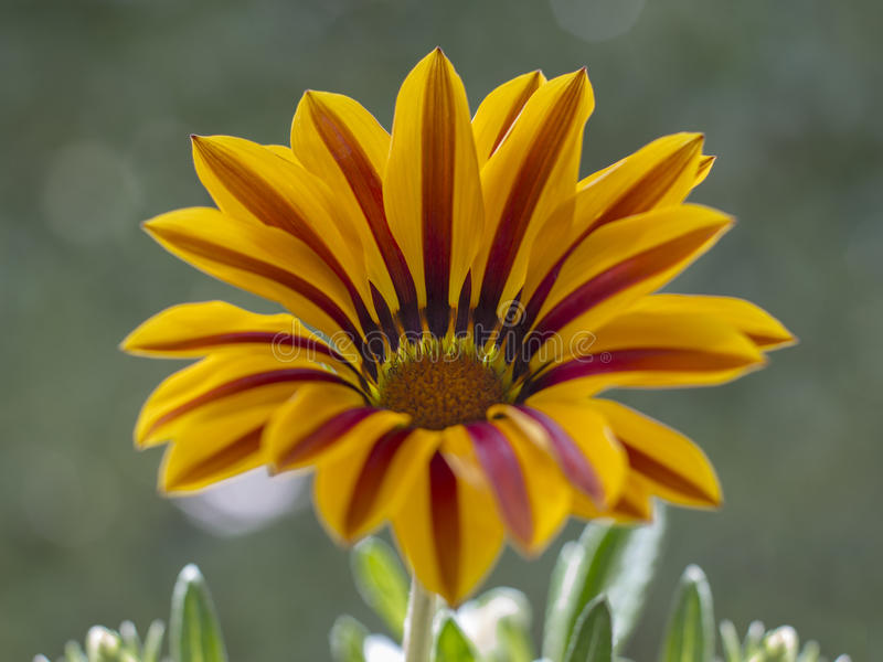 GazaniA-Blume lizenzfreie stockfotos