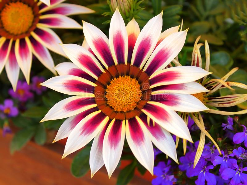 Flowers Gazania colorful close-up blurred background. Gazania colorful close-up blurred background royalty free stock photography