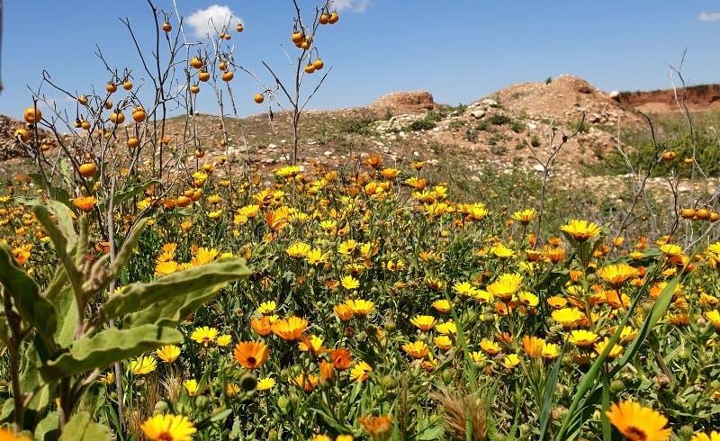 Gazania cudowna roślina zdjęcia royalty free