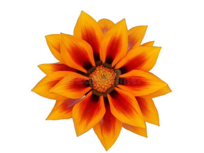 Gazania flower stock images