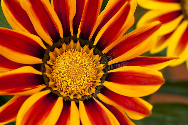 Gazania Flower. Close up of a red yellow Gazania royalty free stock photo