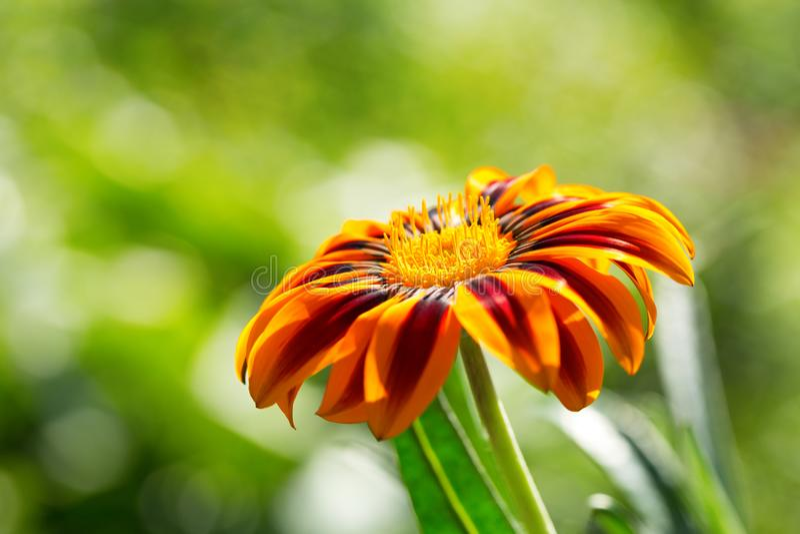 Gazania flower or african daisy in a garden royalty free stock photos